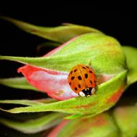 Ladybug on Pink Rose by Laura Mountainspring