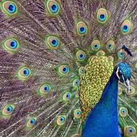 Peafowl II by Laura Mountainspring