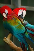 2 Red Macaws