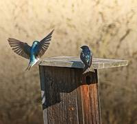 Tree Swallows Coming Home