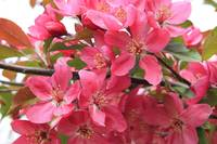 Red Apple Blossoms 2