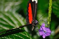Black and Red Butterfly on a Purple Flower