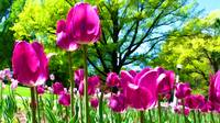 Luminous Purple Tulip Blooms in Spring Flower Bed