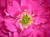 Fuschia Rose Petals & Stamens ~ Flower Close-up