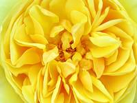 Sunny Yellow Rose w/ Petals & Stamens, Macro Photo