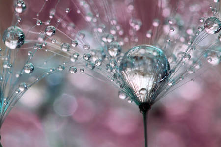 Macro photography: Dandelion seeds with water droplets on sparkling pink bokeh background
