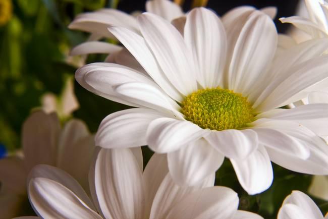 White chrysanthemum flower by victoria field mightylinksfo