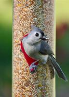 Titmouse with Seed