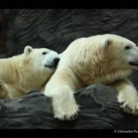 Polar Bears: Snuggle Art Prints & Posters by Daniela Pintimalli