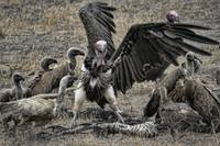 Angry Vulture