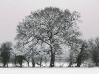Winter Tree in Wraysbury