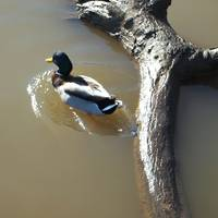Male Mallard swimming away from large Branch 296