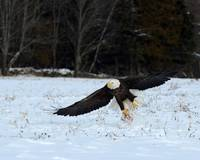 Bald Eagle grabbing a chunk of meat.