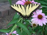 butterfly on cone flowers -7-3-07 002
