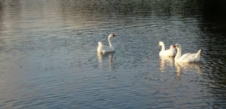geese in Trojan pond, near Goble, Oregon 2