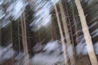 Blurred Pines