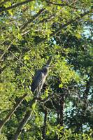 Great Blue Heron in the trees by Trojan pond 2