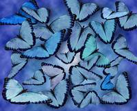 Blue Morpho Collage
