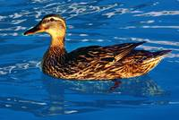 Duck in the Pool