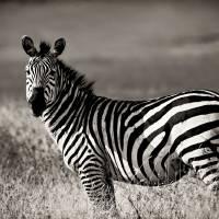 Zebra Profile Art Prints & Posters by Scott Ward