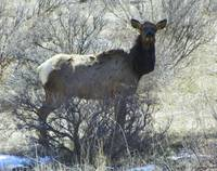 Elk in the Vally