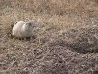 Prairie Dog Near His Home