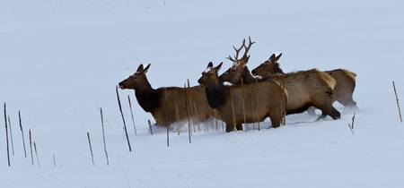 Elk Prancing in Snow