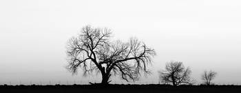 Tree Harmony BW Panorama