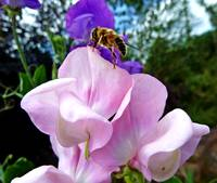 Hoverfly on Sweet Pea
