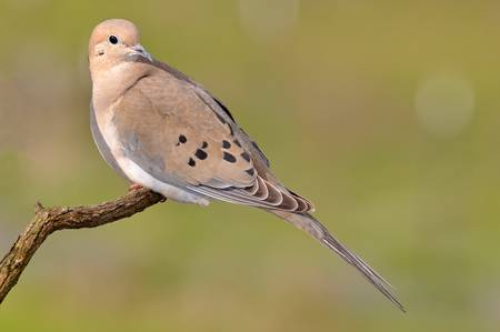 Mourning Dove Roost