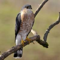 Sharp-shinned Hawk by Laura Mountainspring