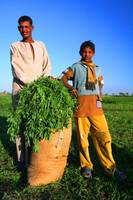 Boys Harvest in Egypt