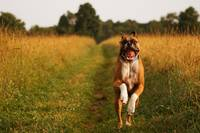 Boxer Dog Running Happily Through Field Photo Prin