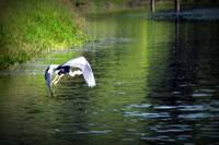 Great Blue Heron in flight, Trojan pond 3
