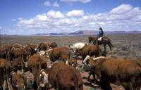 cattle drive with horse