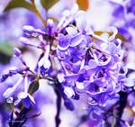 Blue Blush Lilacs