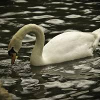 Peaceful Swan Art Prints & Posters by Brandon Schwin