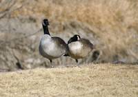 Geese standing on one leg