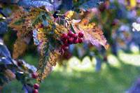 Fruit of the Sorbus Tree