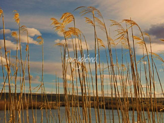 Tall Grass Along the Shore