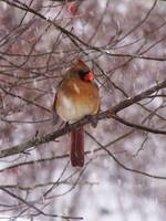 Female Cardinal in snowstorm