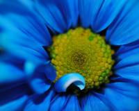 Super Close Blue Daisy