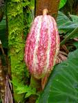 Hawaiian Cacao