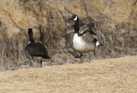 Geese on the banks