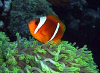 Anemone Fish in Green Anemone
