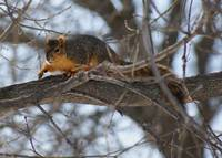 Squirrel out on a limb