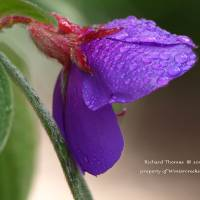 Spring Raindrops in the Afternoon by Richard Thomas