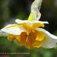 Spring Daffodil and Raindrops by Richard Thomas