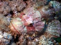 Camouflaged Scorpian Fish