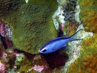 Blue Chromis Above Hard Coral